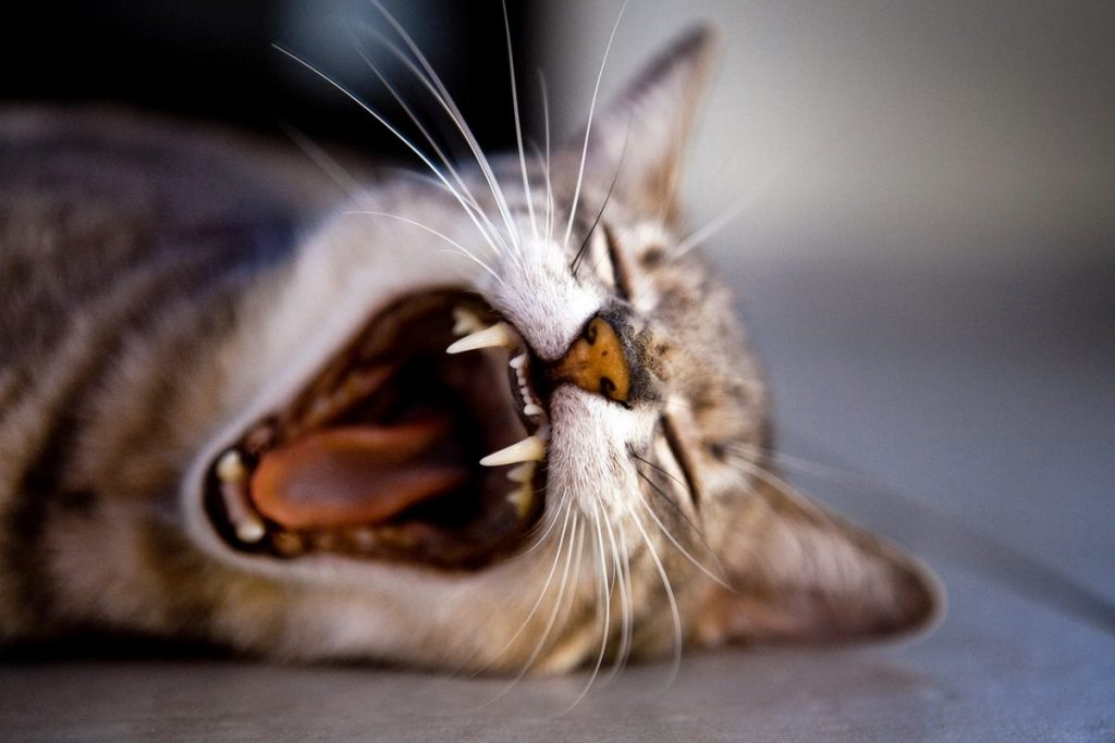 cat-yawning