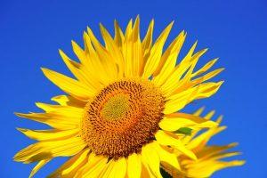 beautiful-sunflower